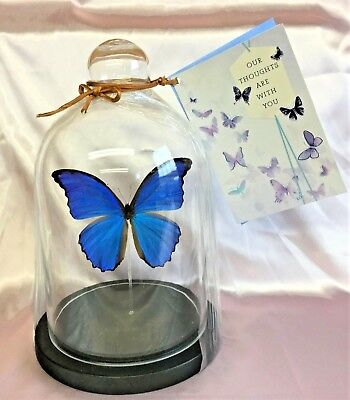 Sympathy Funeral Gift  Real Blue Peruvian Morpho Menelaus Butterfly Display Dome