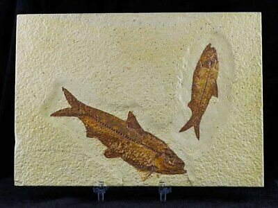 2 Two Knightia Eocaena Fossil Fish Green River Wyoming Eocene Age Free Coa Stand