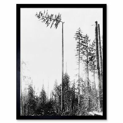 Vintage Photography Landscape Forest Tree Pine Logging Timber Usa Framed Print