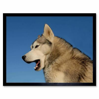 Siberian Husky Puppy Giant Wall Mural Art Poster Picture Print 33x47 Inches
