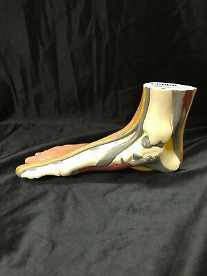 Vintage Foot  Muscles Skeleton Anatomical Model Anatomy