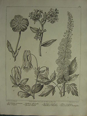 1805 Dated Flower Print ~ Canadian Columbine American Herb Christopher Rose