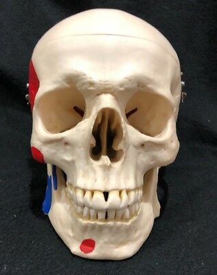 Somso QS7/5 Artificial Human Skull with Muscle Attachments Anatomical Model