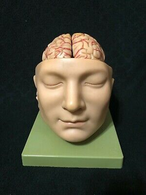 Somso BS5 Base of Head and Brain 9 Part Anatomical Model