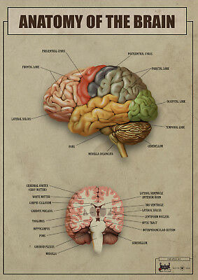 Anatomy of the brain version2 biology Poster Canvas Picture Print A4 A3 A2 A1 A0