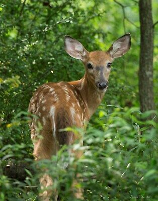 Young deer picture, wildlife wall art by Bruce Morrell