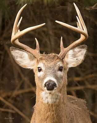 Large deer picture, wildlife wall art by Bruce Morrell