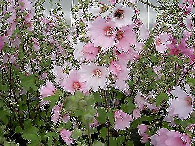 "Lavatera x clementii Barnsley - Mallow - Plant in 3.5"" Pot"
