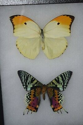 Sunset Moth and Yellow Butterfly Mounted Insect Specimens Incredible Color