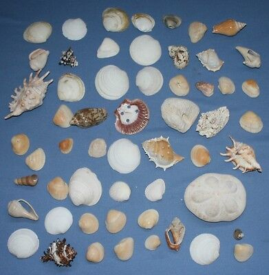 Sea Shells Lot Sea Biscuit Sand Dollar Shell 3 1/2 lbs 56 pcs Conch Clam Whelk