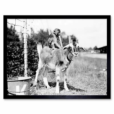 Vintage Photography Chained Monkey Riding Goat 12X16 Inch Framed Art Print