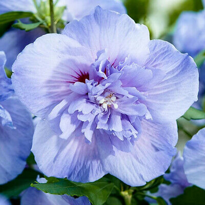 Hibiscus Syriacus Blue Chiffon Rose Mallow Plant In 9cm Pot Eur