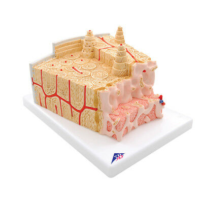 3B Scientific A79 MICROanatomy Bone Structure Anatomical Teaching Model (A 79)