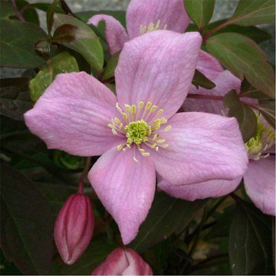 clematis for fr2013.coum
