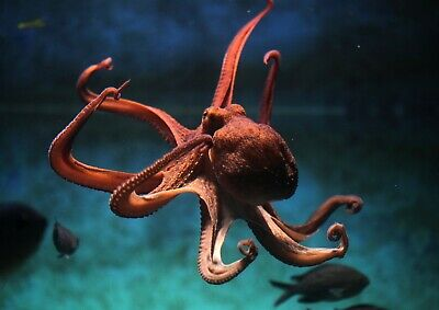 Amazing Underwater Octopus Poster Size A4 / A3 Sea Creature Poster Gift #8329