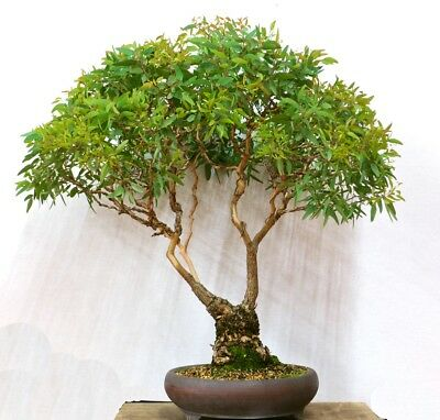 5 graines de LOROPETALE DE CHINE Loropetalum Chinense H337 BONSAI SAMEN SEEDS