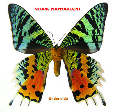 Insect Butterfly Moth Day Flying Gorgeous Sunset Moth-Urania ripheus!