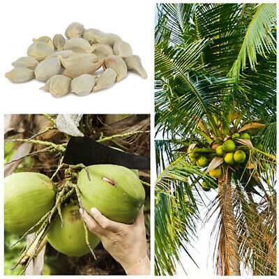 20Pcs Coconut Tree Seeds Giant Miracle Plant Tropical Nutrition Juicy Fruit Smar