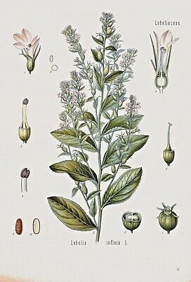 Botanical Herb Medicinal Indian Tobacco 95 Vintage Art Print/Poster