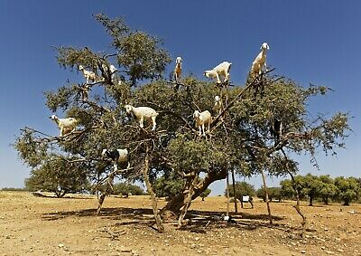 Amazing Funny Tree Goats Poster Size A4 / A3 Goat Farm Animals Poster Gift #8667