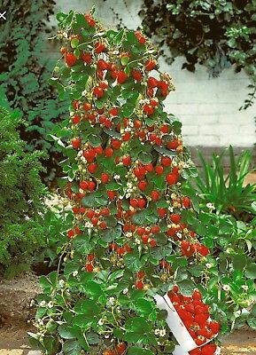 200x Red Climbing Strawberry Seeds, Fruit Garden Plant - Buy 2 Get 1 Free