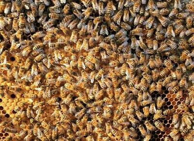 Honey Bees - honey bee colony, nuc box nucleus national frames standard or 14x12