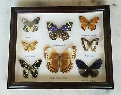 8 Pretty Butterflies Collection Mounted in Shadowbox: Japanese Emperor Butterfly