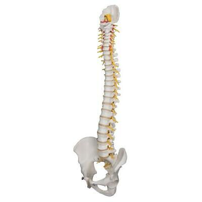 3B Scientific A58/5 Deluxe Flexible Spine Model,Life Size Vertebral Column Model