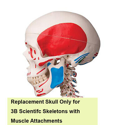 3B Scientific Spare Skull With Muscle Attachments Skeleton Models A13/1 A11 A13