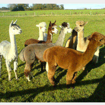 Alpaca leg & neck Fleece 100% for spinning or felting 1kg mixture