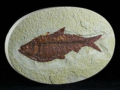Xl 4.5 In Knightia Eocaena Fossil Fish Green River Formation Wy Eocene Age Oval