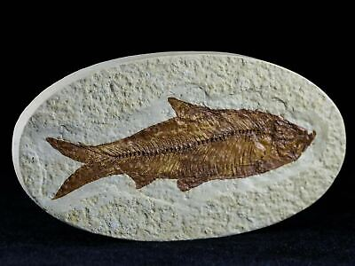 3.5 In Knightia Eocaena Fossil Fish Green River Formation Wy Eocene Age Oval