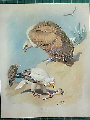 1915 Antique Bird Print ~ Griffon Vulture ~ Egyptian Vulture Adult & Young