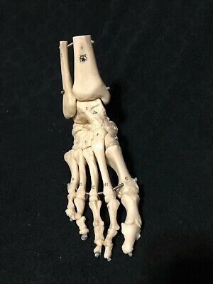 Somso Skeleton Model of the Foot with Elastic Mounting Anatomical Model QS23