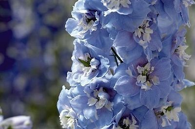 25+  Delphinium  Giant Pacifica Summer Skies 5-6 Ft / Perennial Flower Seeds