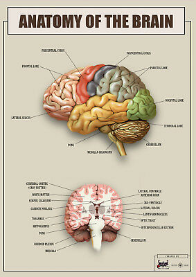 Anatomy of the brain version1 biology Poster Canvas Picture Print A4 A3 A2 A1 A0