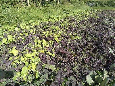 cabbage sprouts savoy kale cauliflower  not plugs  60 plants