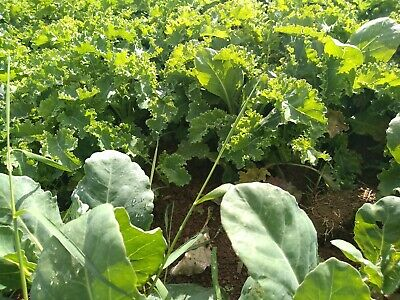 60 Brassica Vegetable Plants Field Grow Not Plugs  Cabbage Kale  Savoys