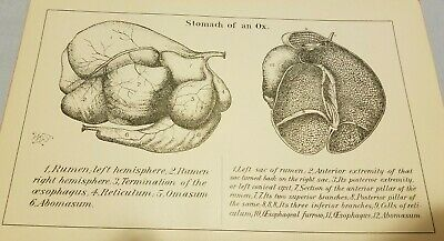 1888 Antique Print STOMACH OF AN OX All the Part Shown Cross Section