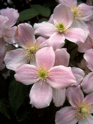 Clematis montana Pink Perfection in  8cm pot