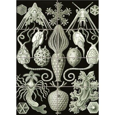 NATURE ART ERNST HAECKEL BIOLOGY SEA CREATURE GERMANY PAINTING POSTER 1784PYLV