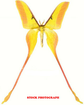 Insect Butterfly Moth Saturniidae Actias dubernardi-Chinese Beauty!