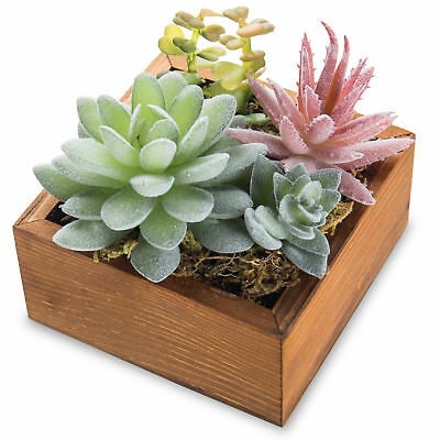 Echeveria Elegans Succulent Plant Arrangement in Rustic Wooden Box Planter