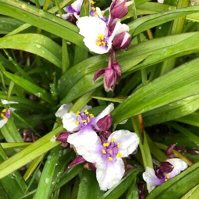 Tradescantia x andersoniana Bilberry Ice - Spider Lily, Plant in 9cm Pot