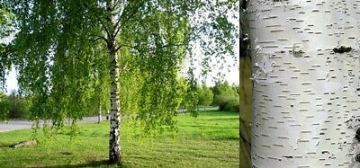 5X 4-5Ft Large Silver Birch Trees - Betula Pendula -  2L Potted - Auction