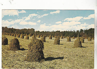"""*Postcard-""""Peanut Stacks"""" -Famous crop in Southland-  (#186)"""