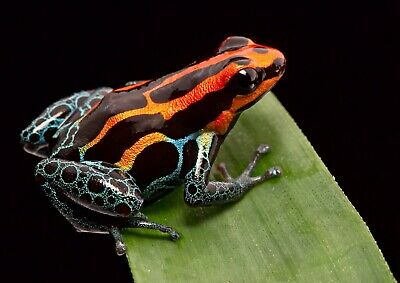 A4| Red Dart Poison Frog Poster Print Size A4 Wild Animal Poster Gift #16203
