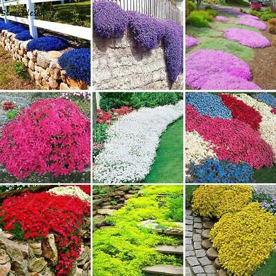 100Seeds Ground Cover Flower Garden Decoration Rock Cress Seeds Rockery 01