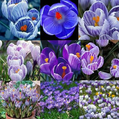 Semi di fiori di zafferano 20pcs / 30pcs / 50pcs semi di bonsai crocus OO55
