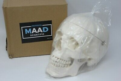 Maad Scientific Medical Anatomical Skull Model - 3 parts - Life Sized Human Mold